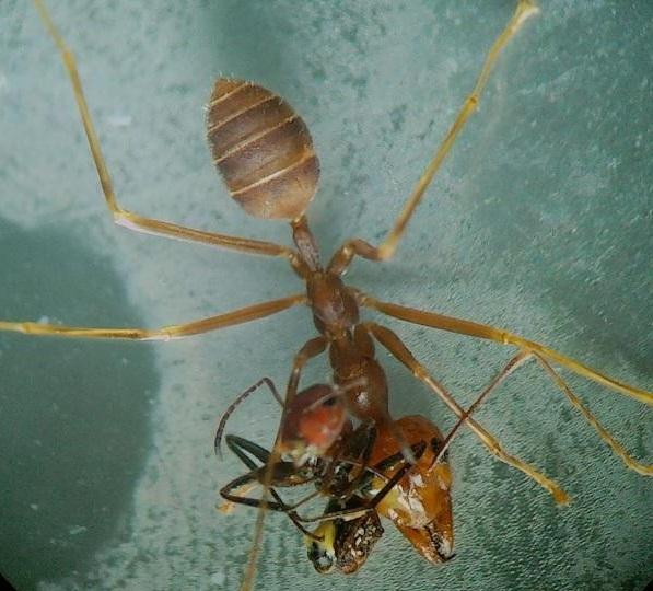 ALEXEY KOPCHINSKIY_02-exploding-ants-Weaver-with-YG-02.adapt.1190.1-1.jpg
