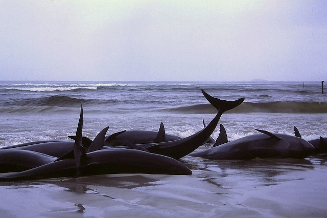 1986_beached_whales_in_Flinders_Bay_(2).JPG