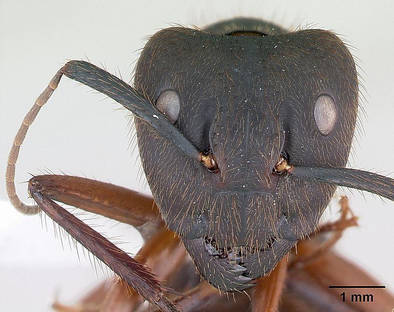 Camponotus_rufipes_casent0173444_head_1.jpg