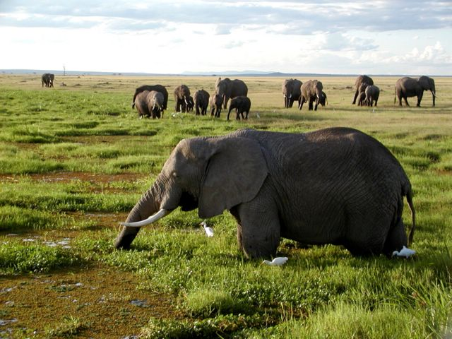 African_Elephants_in_Kenya.jpg