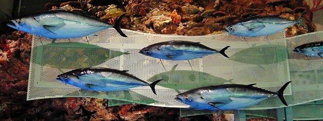 Momotarou2012 _1280px-Skipjack_tuna_Stuffed_specimens.jpg