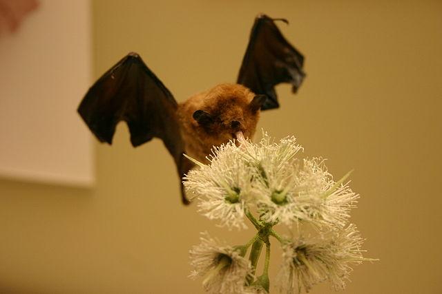 Ryan Somma_640px-Palla's_long-tongued_bat.jpg