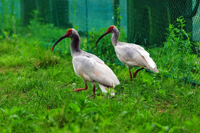 ibis3.jpg