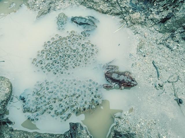 북방산개구리.jpg