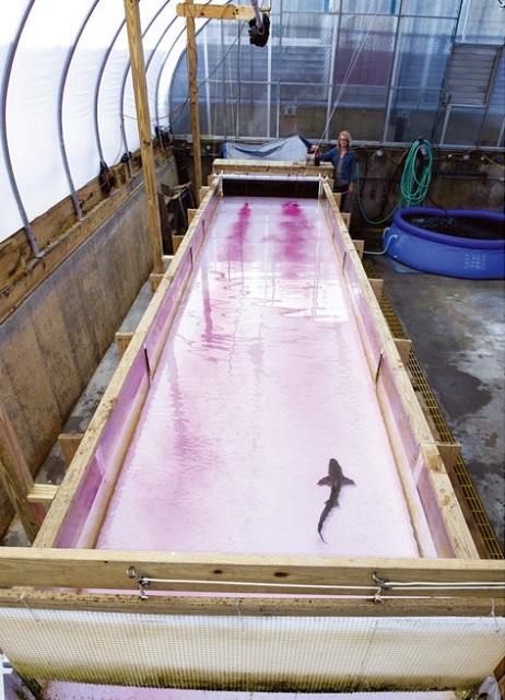 바다 산성화 상어 실험 모습.jpg