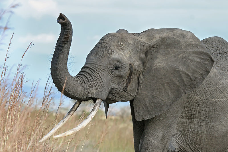 African Elephant Drawing Trunk Up
