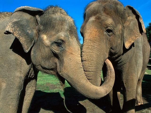tn_Asian+Elephants.jpg