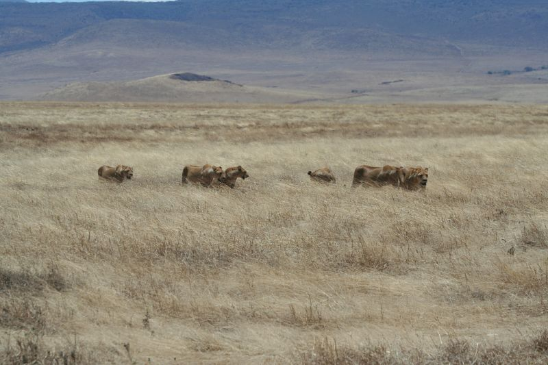 Hunting_lionesses_ngorongoro3.jpg