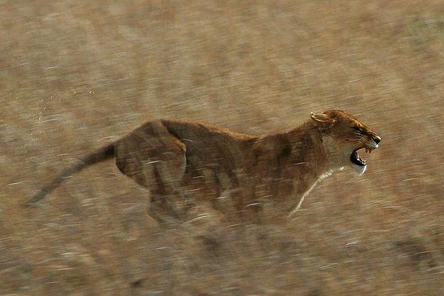 Schuyler Shepherd _640px-Serengeti_Lion_Running_saturated.jpg