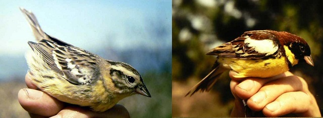 yellow-breasted bunting.jpg