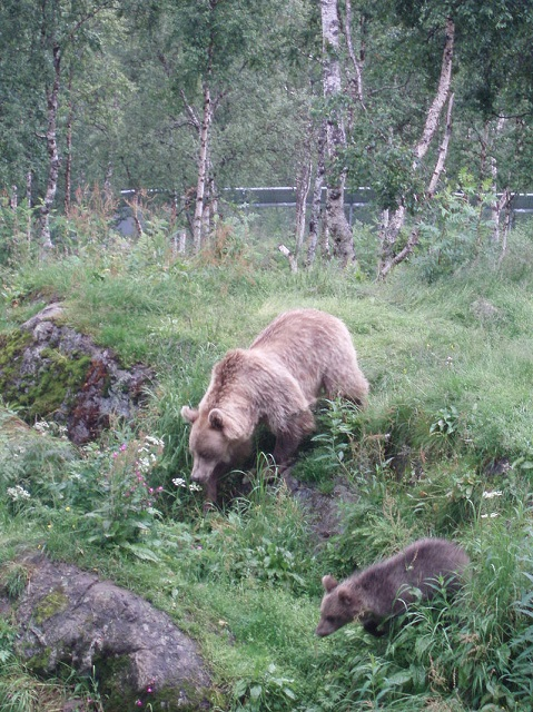 Hans-Petter Fjeld _800px-Ursus_arctos-Bear-Female+cub-Polar_Zoo_Norway.JPG