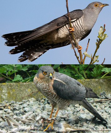European_Cuckoo_Mimics_Sparrowhawk-Chiswick Chap.jpg