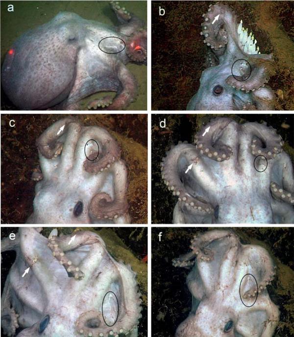 MBARI_Deep-sea-octopus.jpg
