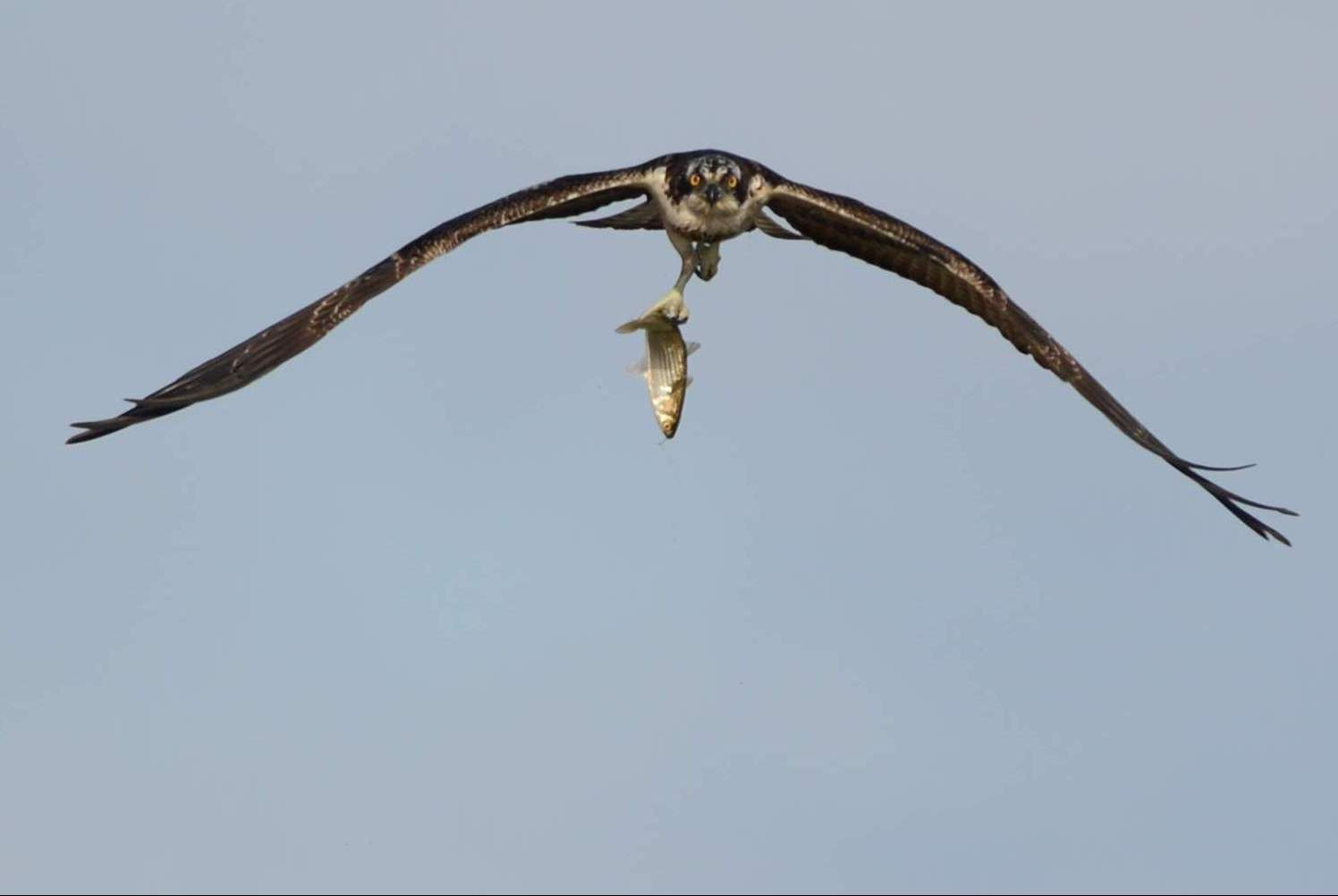 osprey01.JPG
