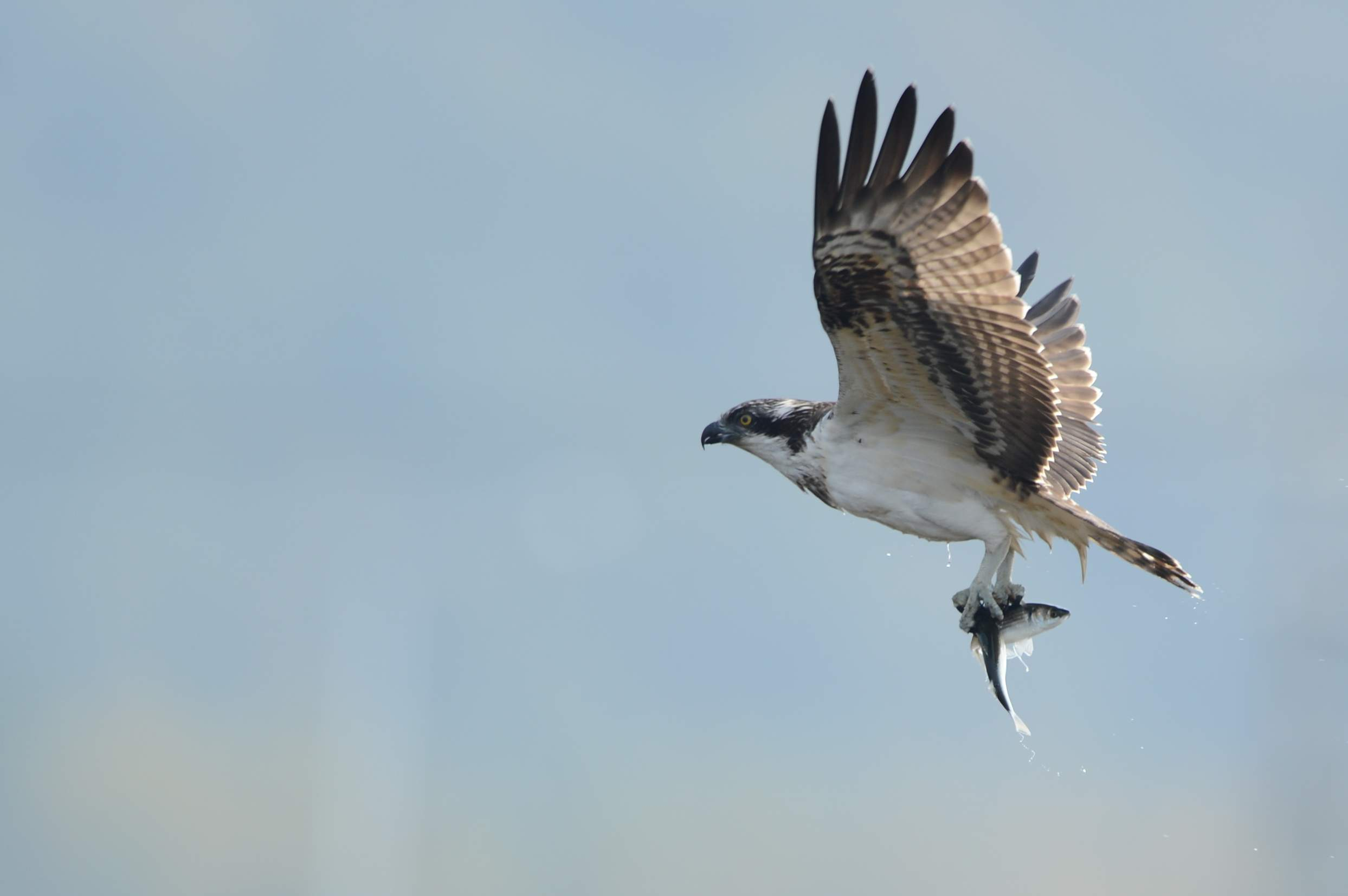 osprey17.JPG