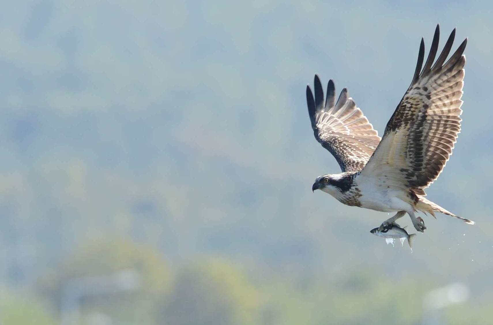 osprey18.JPG