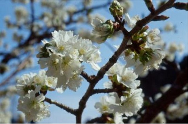 섬벚나무.jpg