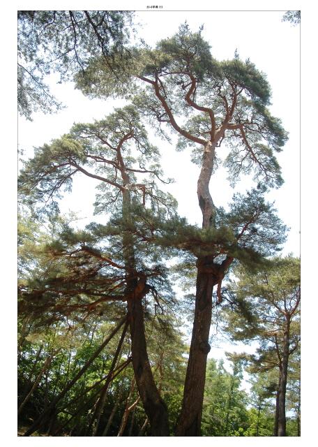 소나무_1[1].JPG