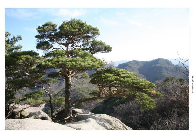 소나무_4[1].JPG
