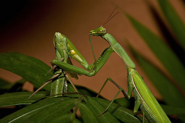 Oliver Koemmerling_640px-Praying_Mantis_Sexual_Cannibalism_European-37.jpg