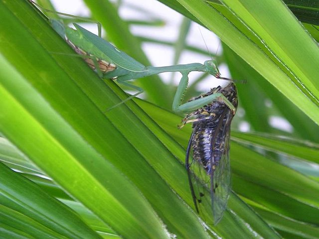 Tony_640px-Miomantis_caffra_eating_a_New_Zealand_cicada.jpg