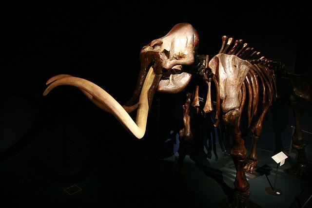 rama_Mammoth on display at Neuchâtel natural history museum.jpg