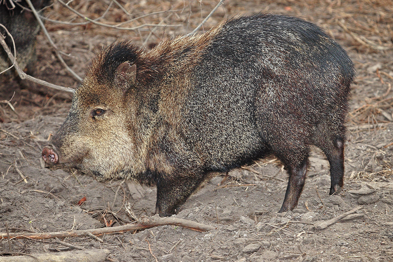 1280px-Collared_peccary02_-_melbourne_zoo.jpg