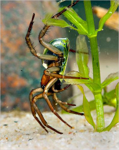 underwater spider.jpg