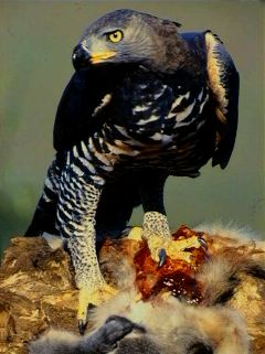 Crowned_Eagle.jpg