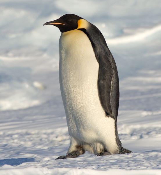 554px-Emperor_Penguin_Manchot_empereur.jpg