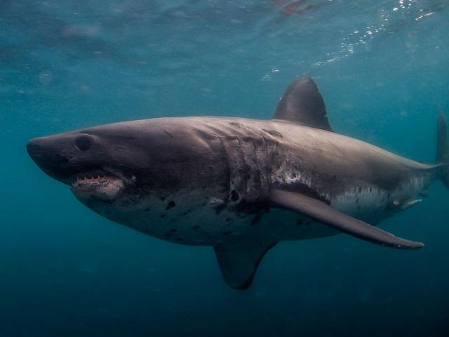 endo2_salmon shark_ Yutaka Sasaki.jpg