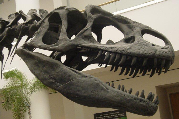 Allosaurus_skull_SDNHM_샌디애고 자연사박물관__위키.jpg