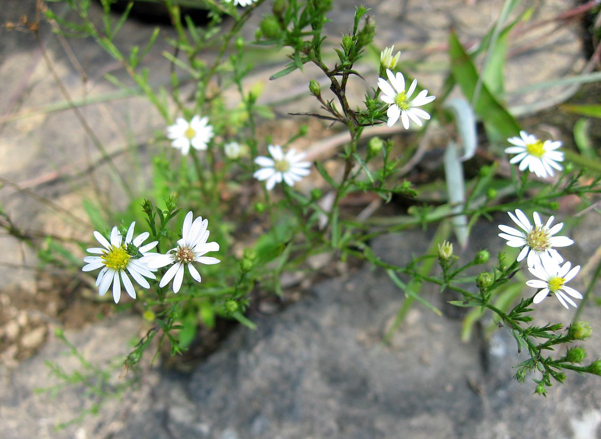 Symphyotrichum_pilosum_pringlei_Tennessee.jpg