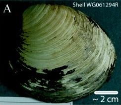 Ming_clam_shell_WG061294R.jpg