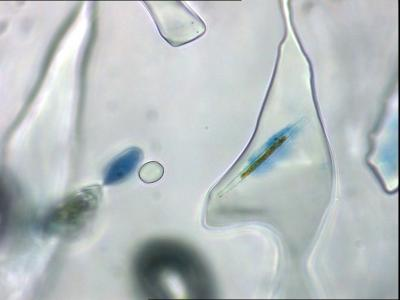 Inside an ice pore, gel-like mucus_stained blue to be visible_ clings to an individual diatom of sea-ice algae..jpg