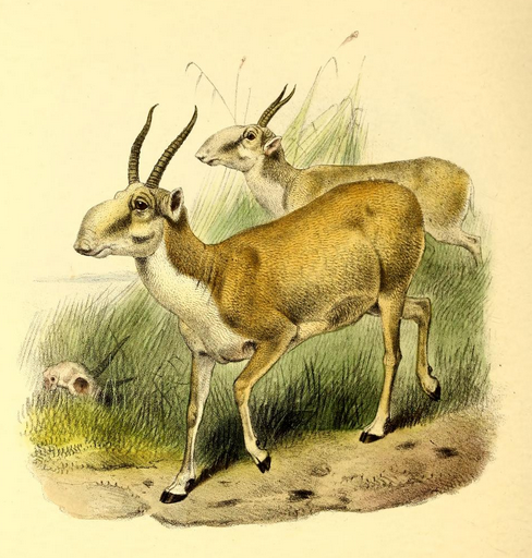 Philip Sclater_The_book_of_antelopes_(1894)_Saiga_tatarica.png