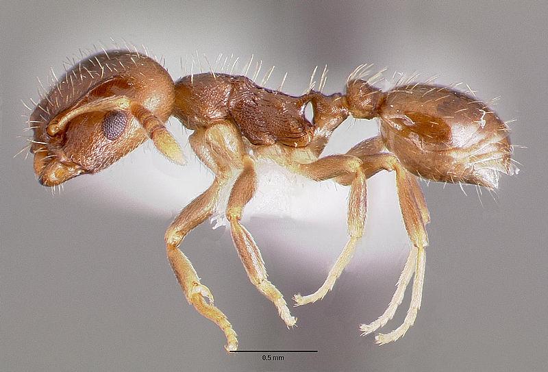 800px-Protomognathus_americanus_casent0003235_profile_1.jpg
