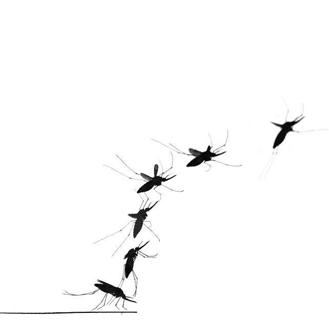 m1_mosquito_takeoff_bloodfed_Florian Muijres, Wageningen University..jpg