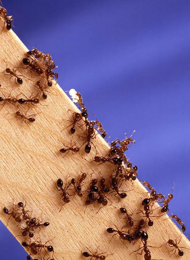 미국 농무부_농업연구서비스_Fire_ants02.jpg