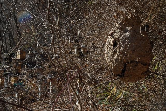 b6_DSC_2002_081201 삼정리 토종벌통 바로 옆에 있는 말벌집, 지금까지 적과의 동침이랄까.jpg