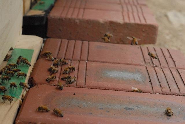 b7_DSC_120629 화개 벌통입구의 양봉꿀벌.jpg