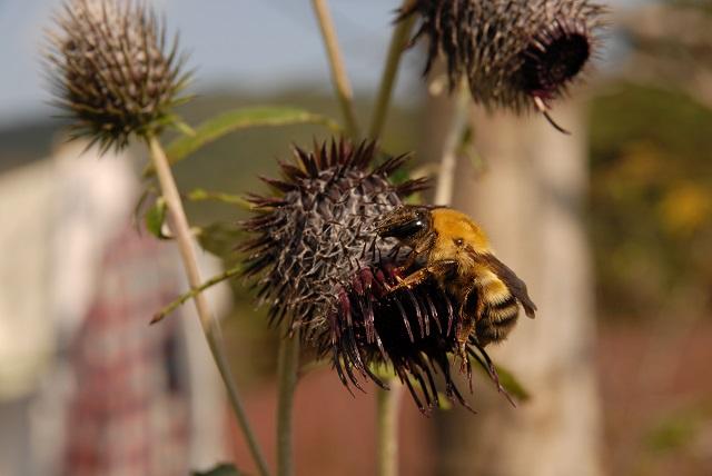 b8_DSC_121028 창원 꿀벌대신 꽃가루받이도 하는 우수리뒤영벌.jpg