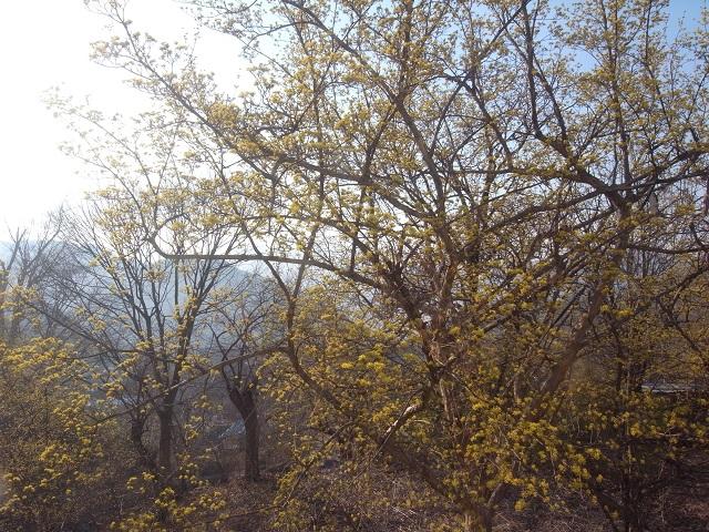 b9_R0073332 140323 창원 꿀벌이 없이 적막한 산수유꽃.JPG