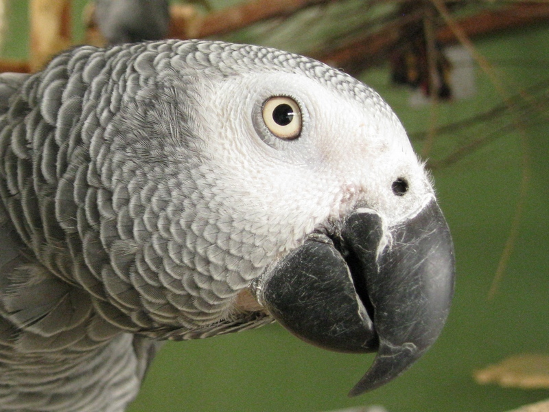 gray-parrot-110621.jpg