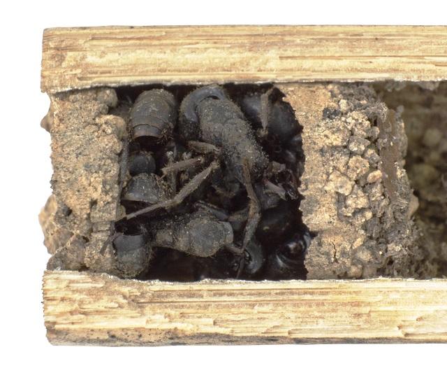 Deuteragenia ossarium 2.jpg
