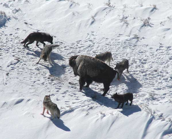 Doug Smith_Canis_lupus_pack_surrounding_Bison.jpg