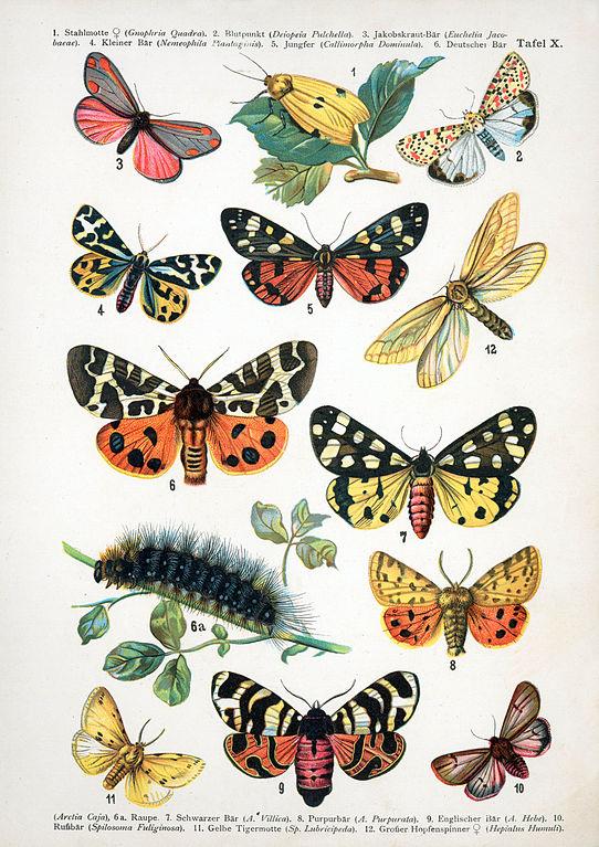 542px-European-butterfly_072-X.jpg