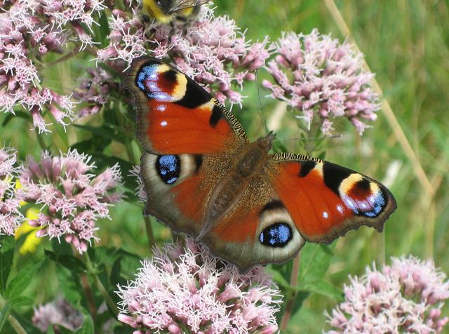 Zorba the Geek_(European)_Peacock_butterfly_-_geograph_org_uk_-_908556.jpg