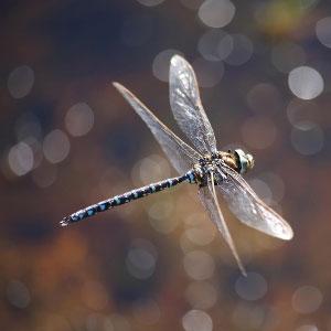 dragonfly Aeshna juncea_ R. Manderbach.jpg