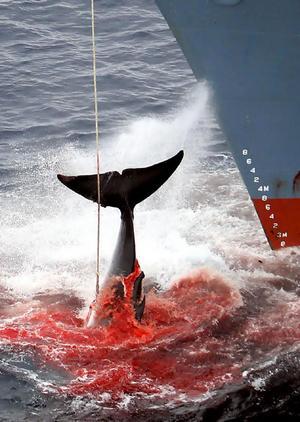 japanese-whaling.jpg